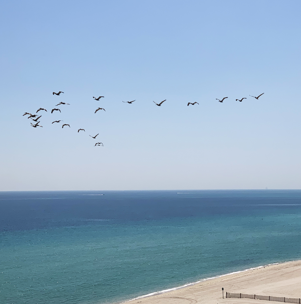 Pelicans migrating north